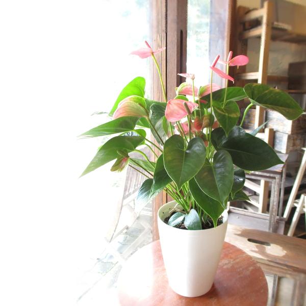 【送料無料】ハートのカタチがとってもキュート♪ アンスリューム「ピンクチャンピオン」6号鉢サイズ 【薫る花】【観葉植物/ミニ/プレゼント/ギフト/贈り物/誕生日/開店祝い/アンスリウム】